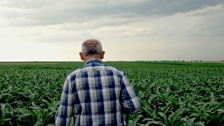 Rear view of senior farmer walking in corn field examining crop. | Shutterstock HD Video #1055277152