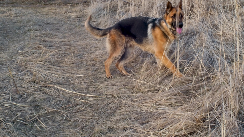 Adult dog German shepherd chasing tail on a walk. The animal spinning and bites itself. Excited nervous behavior of the dog. Aggressive and depressive game. Problems of behavior and education. | Shutterstock HD Video #1055285837