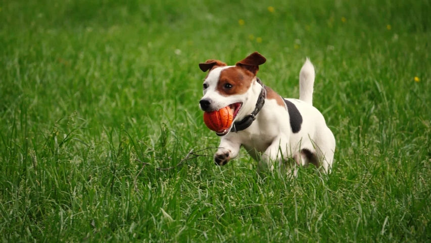 Cute Beagle puppy 3 months brings happy over the meadow with a red ball in slow motion Royalty-Free Stock Footage #1055287586