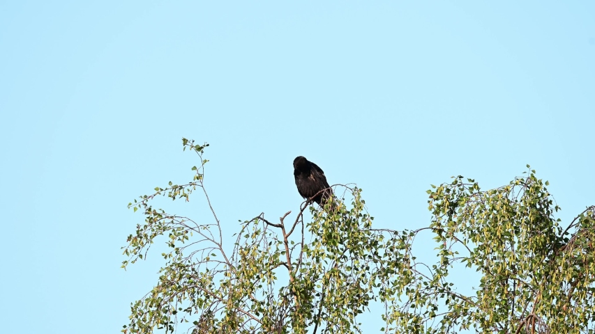 Carrion crow sitting in the tree and watch, summer, (corvus corone), germany   Shutterstock HD Video #1055301479