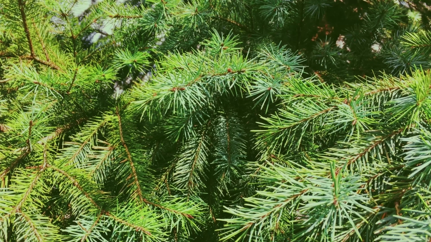 Fir tree branch close-up, as nature, Christmas holiday and evergreen plant backgrounds | Shutterstock HD Video #1055311736
