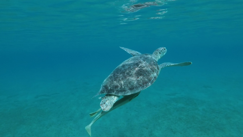 Great Sea turtle with two Remorafish under shell slowly swim to the deep in the sun rays. Green Sea Turtle (Chelonia mydas) and Remora fish (Echeneis naucrates), Red Sea, Egypt | Shutterstock HD Video #1055322164