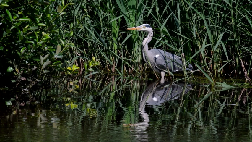Grey Heron while hunting for fish in water. Her Latin name is Ardea cinerea. | Shutterstock HD Video #1055328032