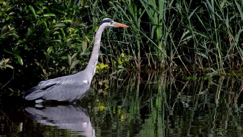 Grey Heron while hunting for fish in water. Her Latin name is Ardea cinerea. | Shutterstock HD Video #1055328056