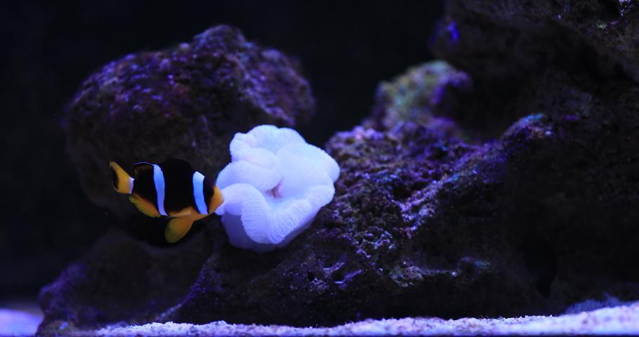 Nemo fish in aquarium background. High quality 4k footage | Shutterstock HD Video #1055330594