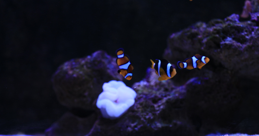 Nemo fish in aquarium background. High quality 4k footage | Shutterstock HD Video #1055330597