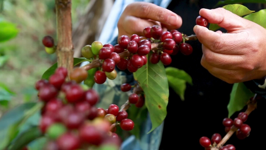 Harvest of red mature coffee cherries  Royalty-Free Stock Footage #1055339093