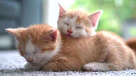 Kitten Stock Video Footage - 4K and HD Video Clips | Shutterstock