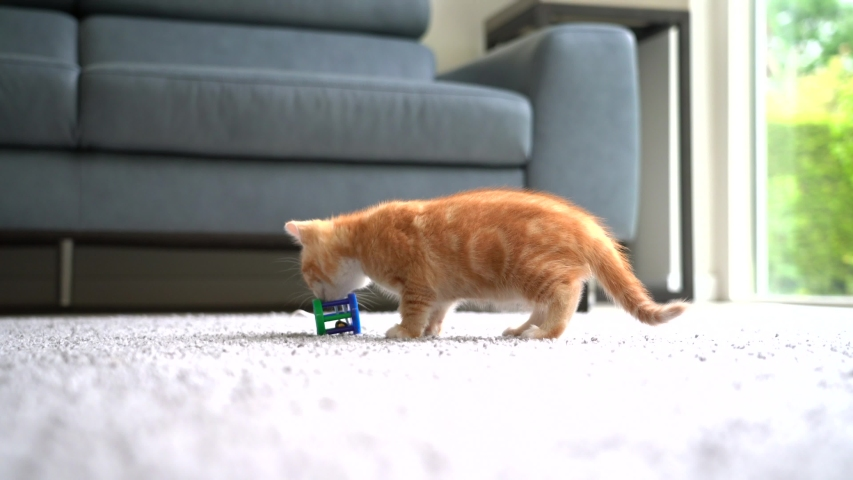Small red kitten doing funny pose while playing with ball. Tracking baby cat around apartment playing with ball and jumping. Long haired ginger kitten play at home. Cute funny home pets. 4k video | Shutterstock HD Video #1055349206