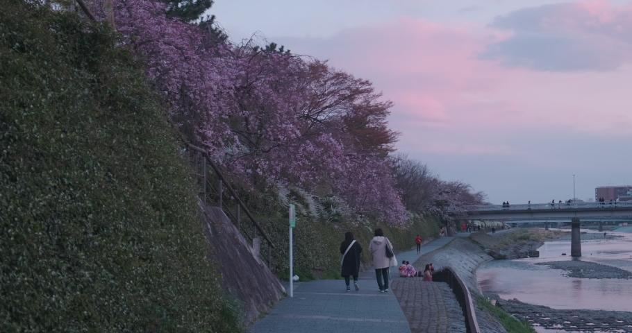 Cherry blossom bloom at sunset, people walking, enjoy the spring season and sakura at river valley, pan rotating shot | Shutterstock HD Video #1055352527