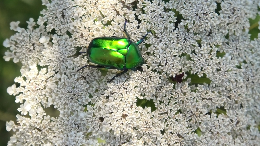 Closeup of one green rose chafer, a beetle feeding on flowers in Elba island of Italy. Cetonia aurata species of metallic green coloration. A flying insect for pollination of flowers.