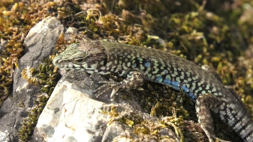 Italian wall lizard, ruin lizard, Podarcis siculus species. Resting of grass moss in Elba Island in Italy.