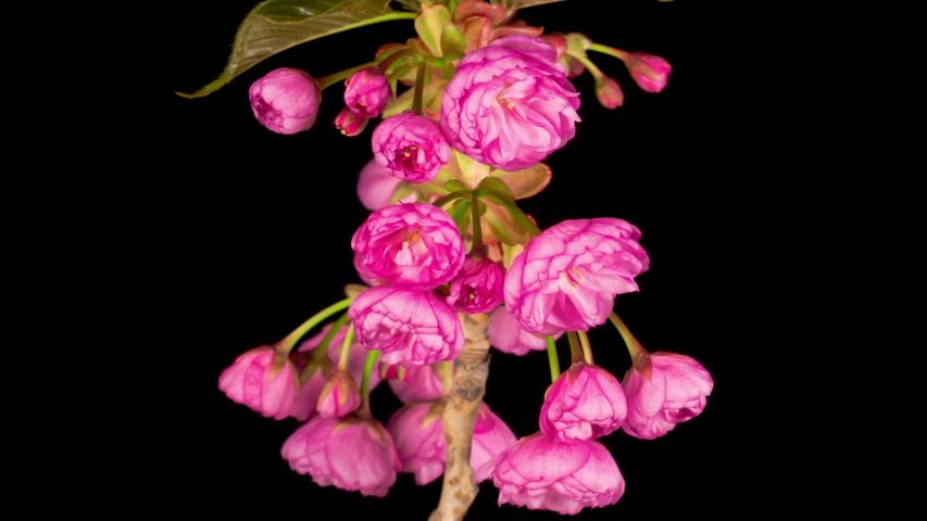 Time Lapse of Beautiful Opening Pink Sakura Flowers Bunch on Black Background. Easter Design Closeup. 4K. | Shutterstock HD Video #1055355095