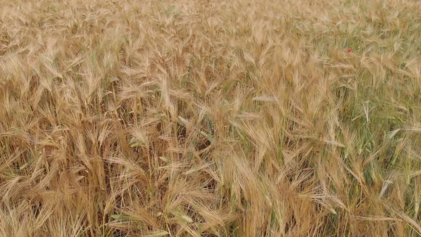 Ripe wheat on a farm field. View from above   Shutterstock HD Video #1055359085