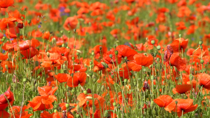 A large number of wild red poppies in the summer season under the yarim sun and blue sky bloomed in the field | Shutterstock HD Video #1055368406