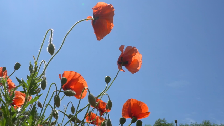 A large number of wild red poppies in the summer season under the yarim sun and blue sky bloomed in the field | Shutterstock HD Video #1055368409
