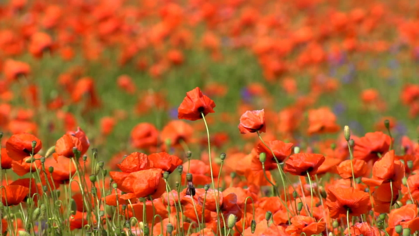A large number of wild red poppies in the summer season under the yarim sun and blue sky bloomed in the field | Shutterstock HD Video #1055368415
