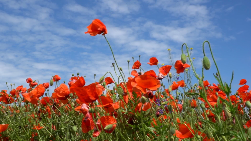 A large number of wild red poppies in the summer season under the yarim sun and blue sky bloomed in the field | Shutterstock HD Video #1055368418