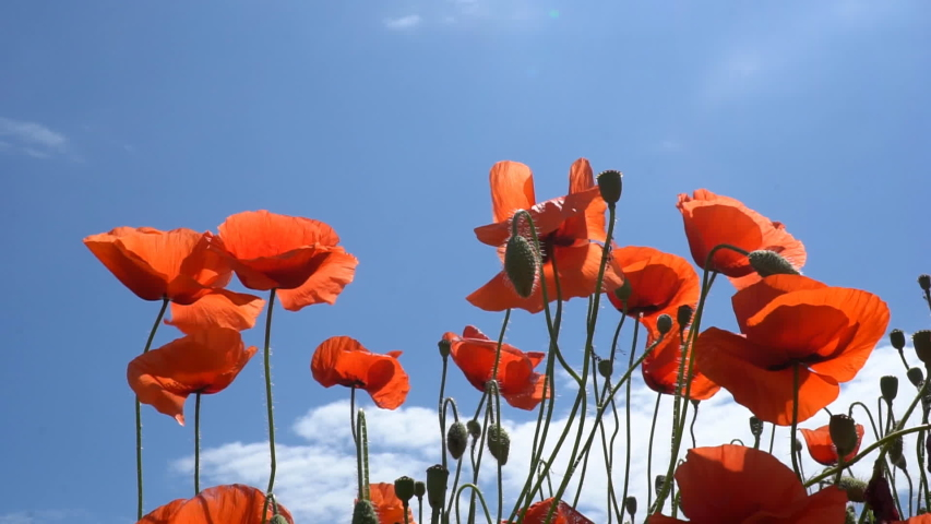 A large number of wild red poppies in the summer season under the yarim sun and blue sky bloomed in the field | Shutterstock HD Video #1055368421