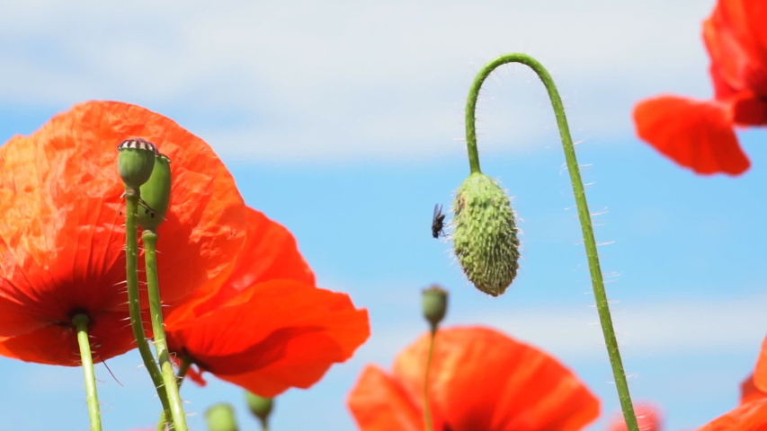 A large number of wild red poppies in the summer season under the yarim sun and blue sky bloomed in the field | Shutterstock HD Video #1055368424