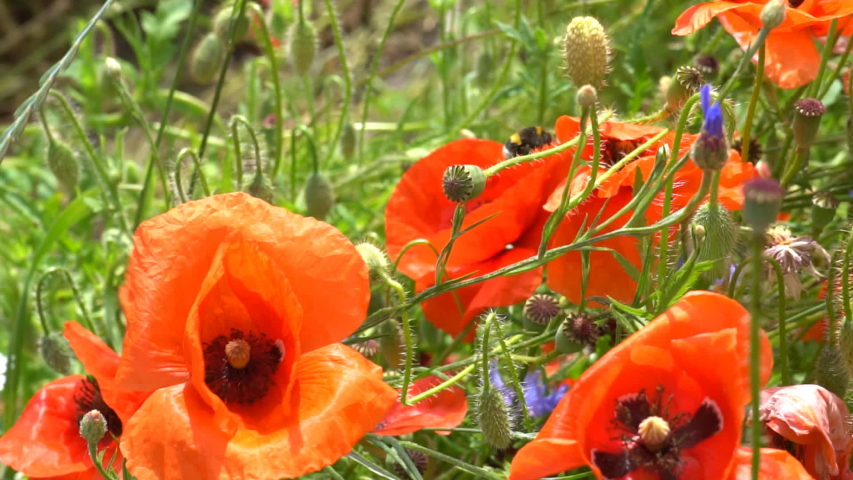 A large number of wild red poppies in the summer season under the yarim sun and blue sky bloomed in the field | Shutterstock HD Video #1055368427