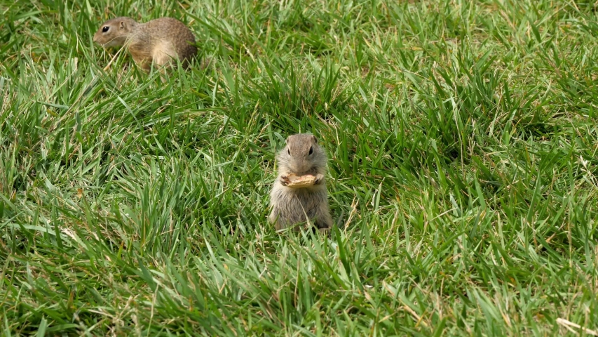 Beautiful ground squirrel in green grass eating a peanut | Shutterstock HD Video #1055368709