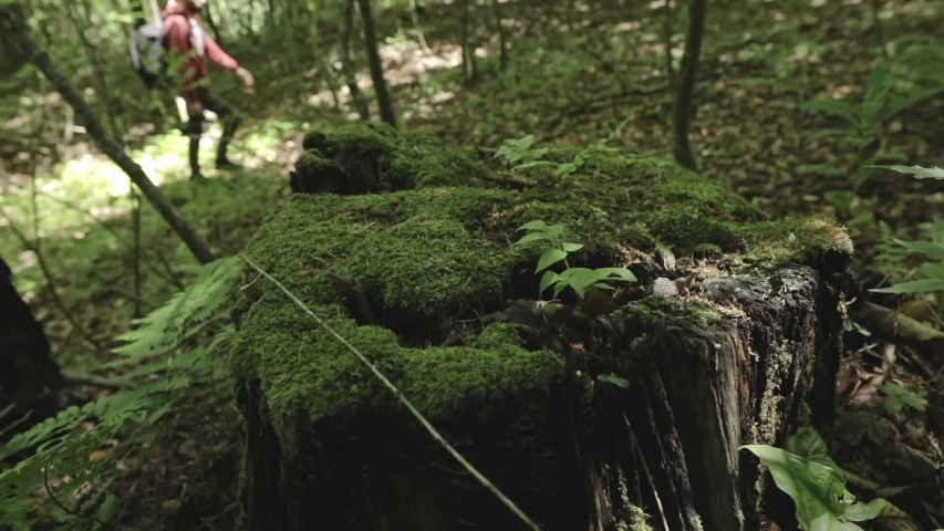 Camera moves around old cut pine trees stumps in the summer forest. Moss covered tree stump. young nature photographer walking in background. slow motion dolly shot | Shutterstock HD Video #1055369162