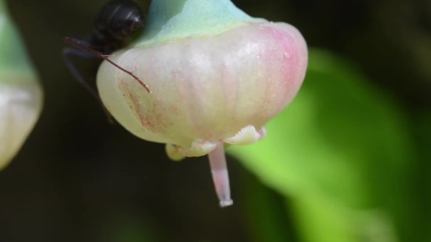 Ant eats on blueberry flower | Shutterstock HD Video #1055369897