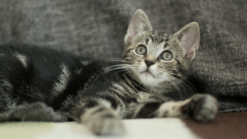 Little cute kitty, three to four weeks old. She looks towards the camera, floating focus, low depth of field, had held shot. | Shutterstock HD Video #1055370311