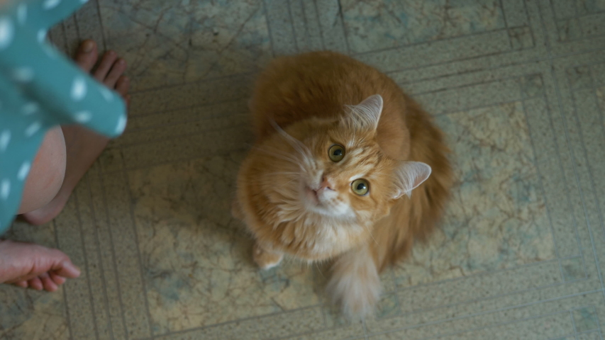 Girl throws a boiled turkey on floor, hungry ginger cat is waiting for tidbit of meat and meows | Shutterstock HD Video #1055370671