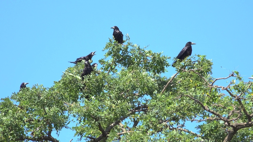 Crows on Branch, Flying Flock, Crowd of Raven in Tree, Black Bird, Birds Close up in Summer Nature | Shutterstock HD Video #1055379593