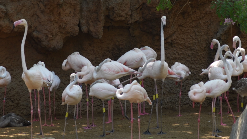 Greater flamingos pink birds in a natural park