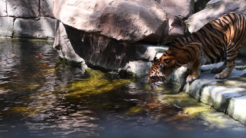 Sumatran Tiger drinking in a river in a natural park - Panthera tigris sumatrae   Shutterstock HD Video #1055386358