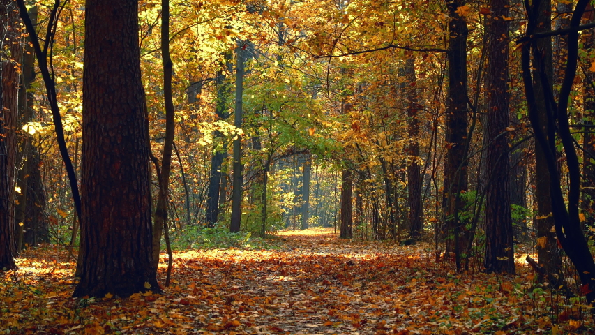 Pathway in the bright autumn forest. Fall of leaves.   Shutterstock HD Video #1055388251