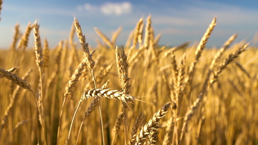 Close up of wheat ears on light wind at sunny day. Golden wheat field over blue sky at summer day. Slow motion. | Shutterstock HD Video #1055388254