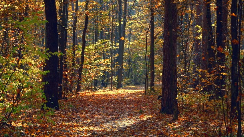 Pathway in the bright autumn forest. Fall of leaves.   Shutterstock HD Video #1055388263
