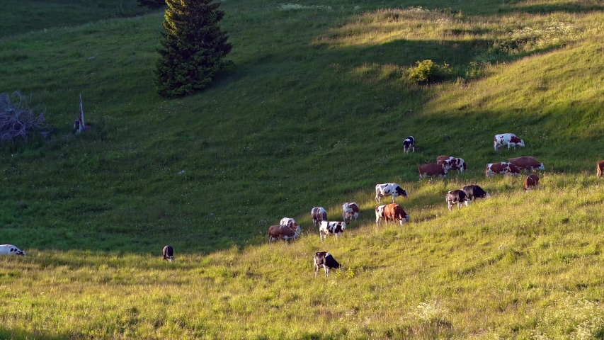 A group of cows grazing in a grass field in the italian alps    Shutterstock HD Video #1055388464