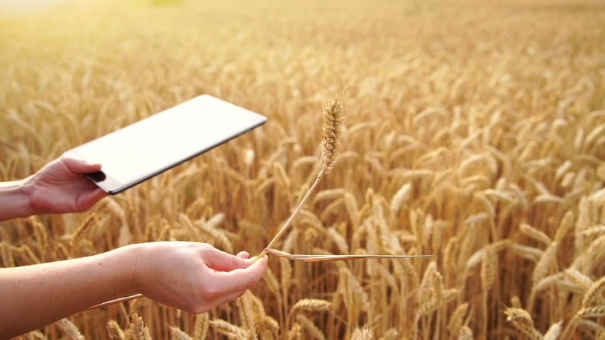 Woman farmer with digital tablet holds an ear of wheat. Grain ripeness analysis infographic. Smart farming   Shutterstock HD Video #1055391017