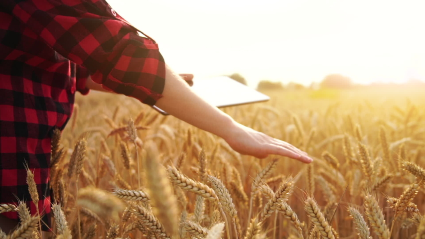 Woman farmer with a digital tablet touching ears of wheat on the field. Slow motion   Shutterstock HD Video #1055391020
