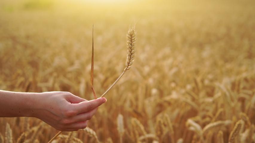 Woman farmer holds an ear of wheat. Grain ripeness analysis infographic. Smart farming   Shutterstock HD Video #1055391023