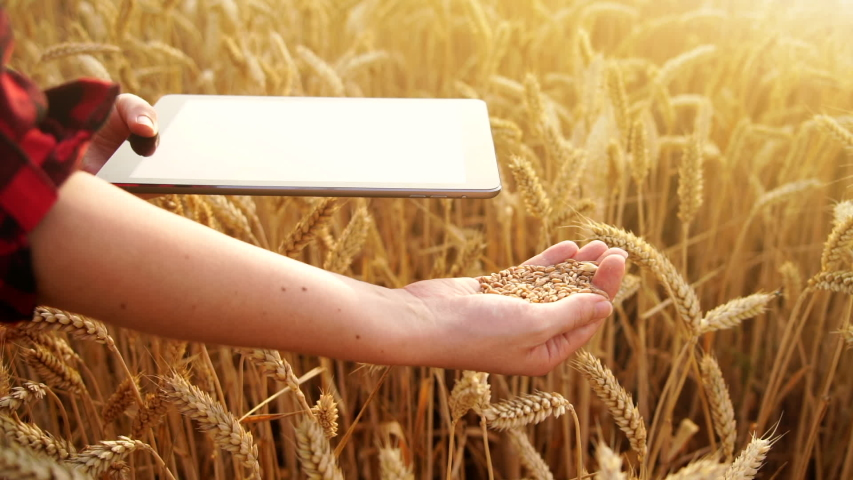 Woman farmer with digital tablet holds wheat grains on field background. Slow motion   Shutterstock HD Video #1055391029