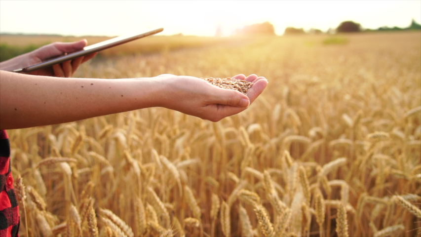Farmer woman with digital tablet sifting wheat grains on field background   Shutterstock HD Video #1055394167