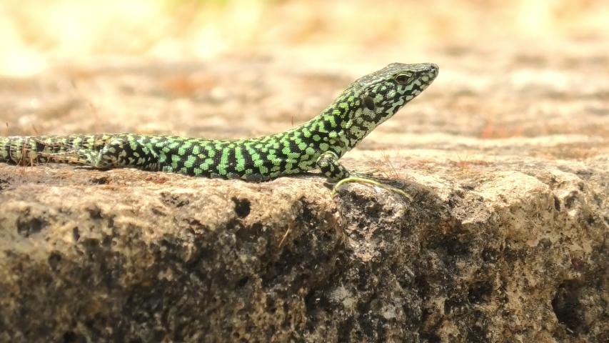 Italian wall lizard, red ruin lizard, Podarcis siculus species. Waving legs to calm on a stone in Elba Island in Italy.