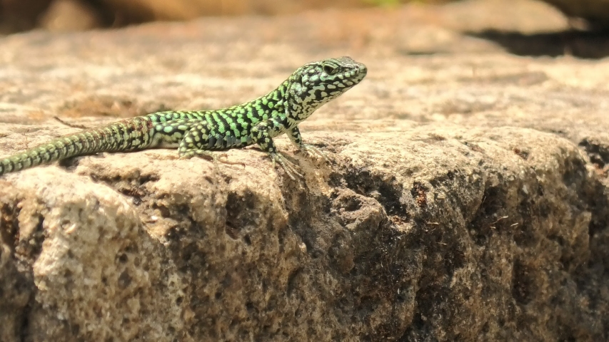 Italian wall lizard, red ruin lizard, Podarcis siculus species. Waving legs to calm on a stone in Elba Island in Italy. | Shutterstock HD Video #1055396615