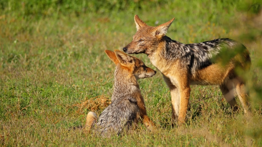 A mother black-backed jackal grooms her pup on the plains of the Savanna in Addo National Park, Port Elizabeth, South Africa   Shutterstock HD Video #1055402735