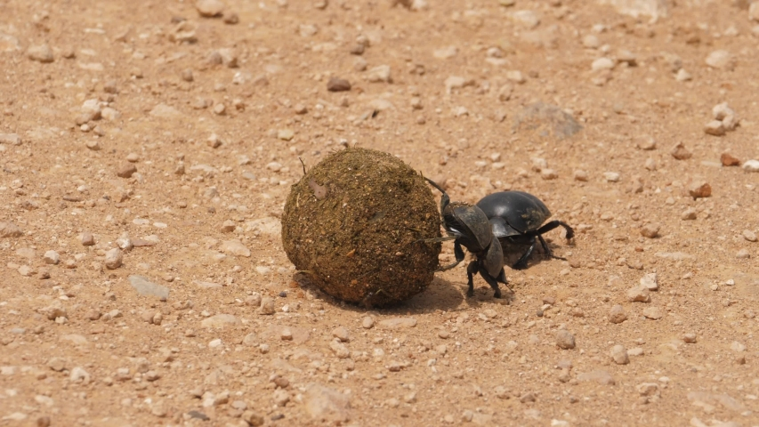 A pair of flightless dung beetles pushing a dung ball across rocky ground in a display of strength and perseverance. Addo Elephant Park, South Africa. | Shutterstock HD Video #1055402744