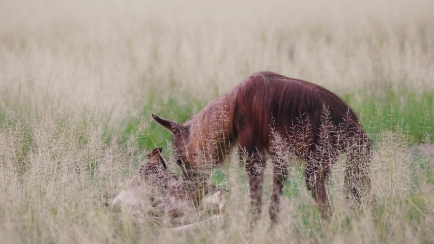 A Hungry Brown Hyena Spotted Feeding On A Dead Carcass in Grass Field - Closeup Shot | Shutterstock HD Video #1055410583