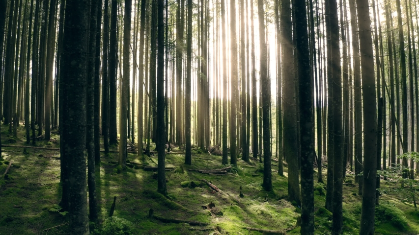 Sunny magical forest in the rays of the rising sun in the morning time. Powerful trees and light haze. Magnificent sunrise in the forest, rays make their way through the branches of trees. Gimbal shot | Shutterstock HD Video #1055410736
