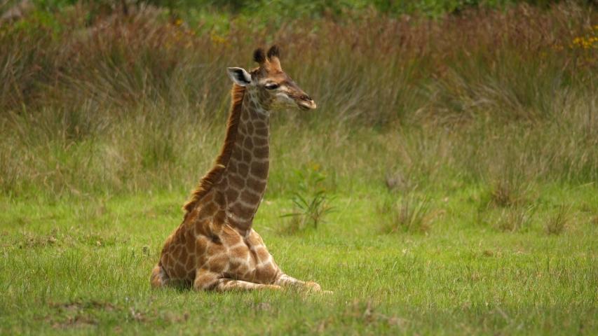 Tranquil baby giraffe lying on the grass   Shutterstock HD Video #1055417996