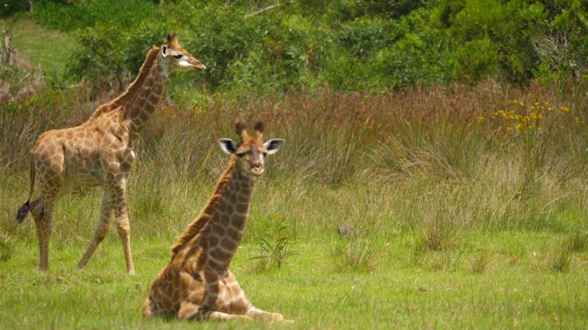 Baby giraffe walks across grass while adult looks toward camera   Shutterstock HD Video #1055418002